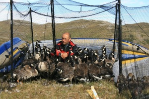 GJN with Canada Geese and a few Greenland Greater White-fronted Geese, Isunngua, Greenland, July 22 2008